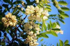 Acacia Royalty-vrije Stock Fotografie