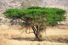 Acacia Fotografia Stock Libera da Diritti