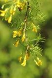 Acacia. Foto de archivo