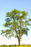 Acacia Royalty Free Stock Images