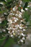 Acacia. Blossom acacia tree branch in spring time Stock Photo
