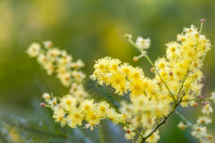 Acacia (acacia dealbata) bunch of yellow flowers closeup Royalty Free Stock Photography