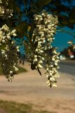 Acacia au ressort photos stock