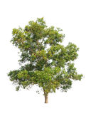 Acacia auriculiformis tree isolated on white Royalty Free Stock Photography