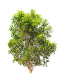 Acacia auriculiformis tree isolated on white Royalty Free Stock Photo