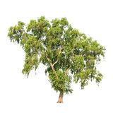 Acacia Auriculiformis, Tropical Tree Isolated Royalty Free Stock Image