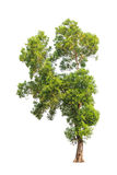 Acacia auriculiformis, tropical tree isolated Stock Photography