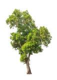 Acacia auriculiformis, tropical tree isolated Royalty Free Stock Photo
