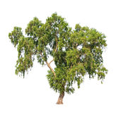 Acacia auriculiformis, tropical tree isolated Royalty Free Stock Images