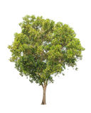 Acacia auriculiformis, tropical tree isolated Stock Photos