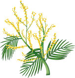 Acacia australiana illustrazione di stock