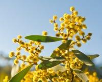 Acacia australien Photographie stock libre de droits
