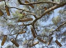 Acacia avec des ruches, Ethiopie, Afrique Photo libre de droits