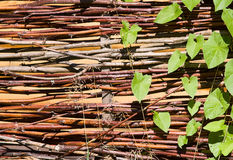 Acacia avec les lames du lierre vert image stock