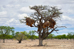 Acacia with big nest. Namibia Royalty Free Stock Photography