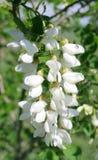 Acacia blanco Foto de archivo libre de regalías