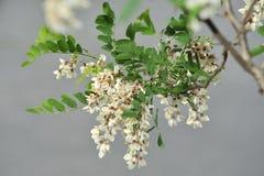 Acacia blanco Fotografía de archivo