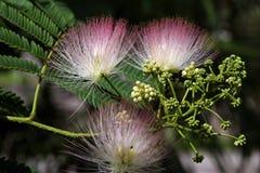 Acacia in bloom Royalty Free Stock Photos
