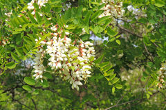 Free Acacia Blooms In The Spring Stock Images - 84672264
