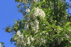 Acacia blooms white flowers. royalty free stock photo