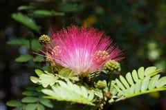 Acacia blossom. Pink crown of a blossoming acacia close up Stock Photo