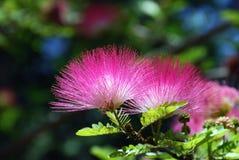 Acacia blossom. Pink crowns of a blossoming acacia close up Stock Photos