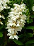Acacia Blossom Stock Photography