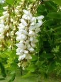 Acacia Blossom Royalty Free Stock Photo