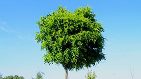 Acacia (robinia pseudoacacia, black locust) green tree on blue sky in sunny windy day, summer diversity,. Acacia (robinia pseudoacacia aka black stock footage
