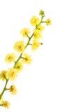 Acacia - bolvormige bloeiwijzeclose-up stock afbeeldingen