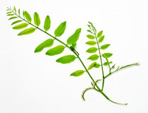Acacia branch Stock Photography