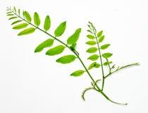 Free Acacia Branch Stock Photography - 6509022