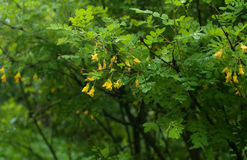 Acacia branch with rain drops and  flowers Royalty Free Stock Photography