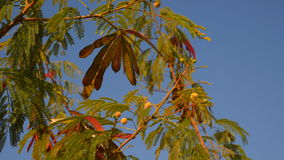 Acacia branch with seeds against a blue sky background.  stock video footage