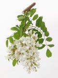 Acacia. Branch of acacia,whit white flowers Stock Photos