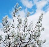 Acacia branches Royalty Free Stock Photos