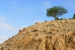 Acacia, commonly known as the wattles or acacias, in desert Negev Royalty Free Stock Photo