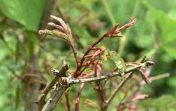 Acacia concinna tree Stock Image