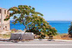 Acacia costantinopoli. In crete, Greece Royalty Free Stock Photos