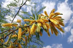 Acacia crassa Stock Photos