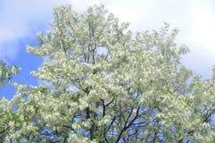 Acacia de floraison Photo stock