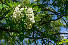Acacia de floraison de flocons Photos stock