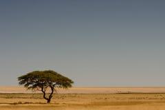 Acacia de parapluie Photographie stock libre de droits