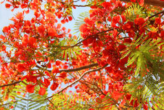Acacia de rouge d'arbre Image libre de droits