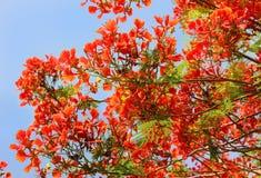 Acacia de rouge d'arbre Image stock