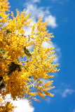 Acacia dealbata branches Royalty Free Stock Images
