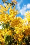 Blossoming spring Acacia dealbata Stock Image