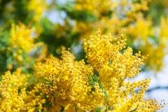 Acacia dealbata branches in spring Stock Photo