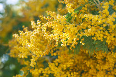 Acacia dealbata branches in spring Stock Photography