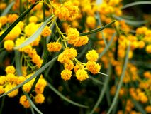 Acacia dealbata della mimosa Fotografia Stock